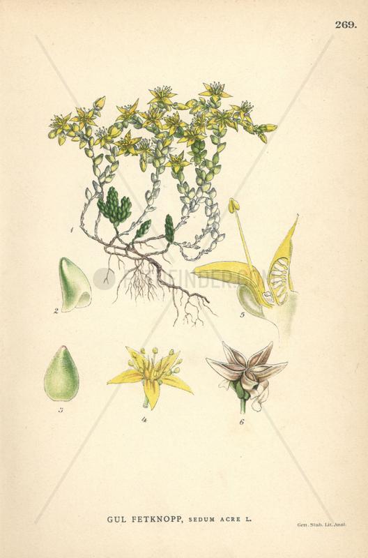 Goldmoss stonecrop,  Sedum acre