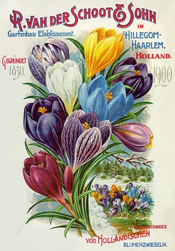 Export von Blumenzwiebeln,  Holland,  1900
