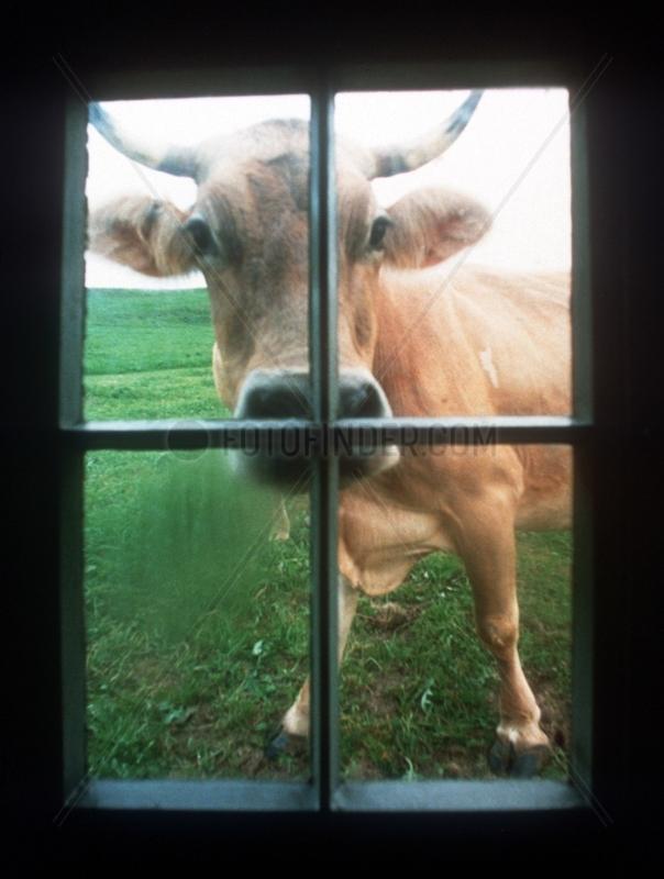 Kuh am Fenster