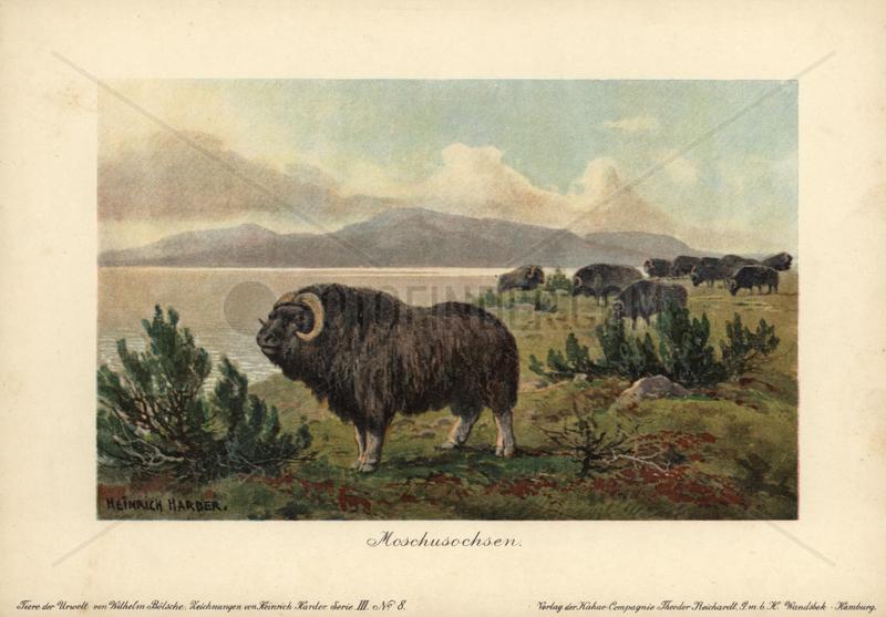 Musk ox,  Ovibos moschatus,  Moschusochsen