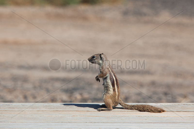 Barbary ground squirrel - Jandia,  Fuerteventura
