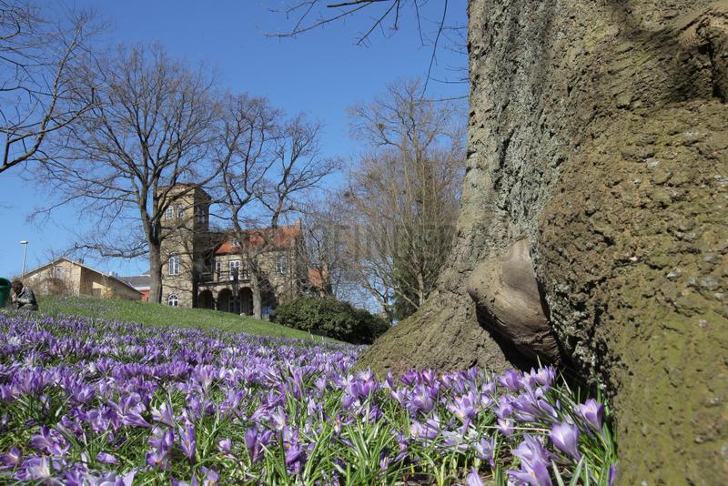Flensburg,  Deutschland,  Krokusblueten im Lutherpark