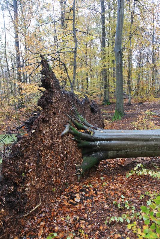 Gluecksburg,  Deutschland,  Sturmtief Christian sorgt fuer schwere Schaeden im Wald