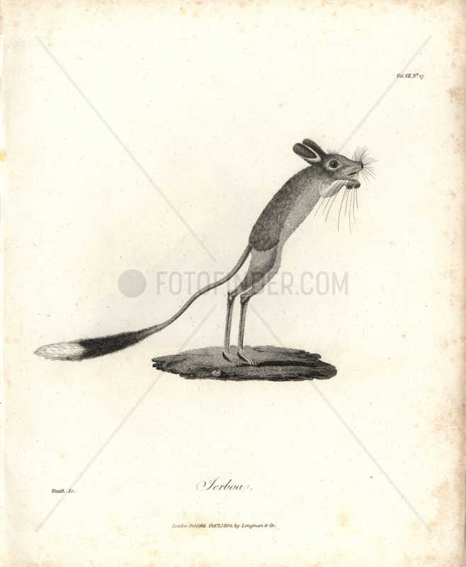 Jerboa from Bruce's Travels to Discover the Source of the Nile,  1790.