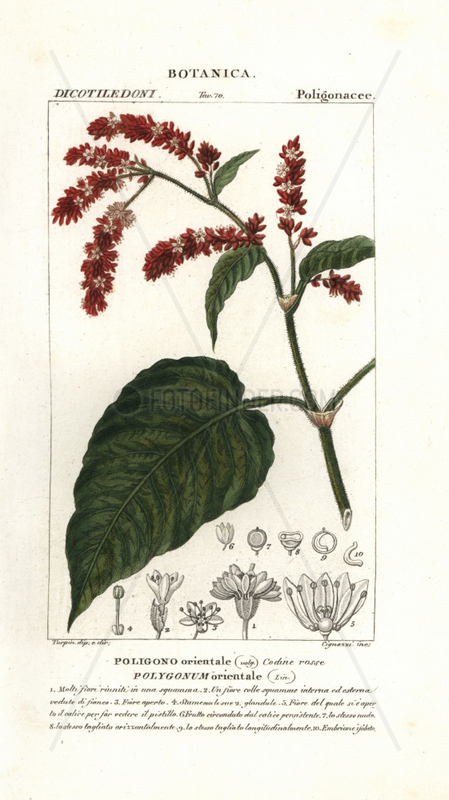 Princess feather plant,  Persicaria orientalis