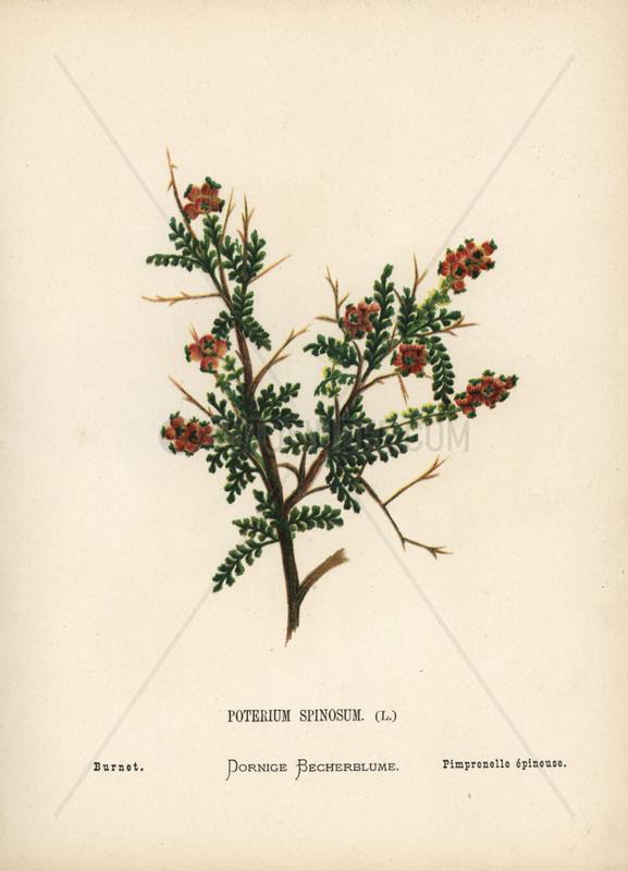 Burnet,  Poterium spinosum