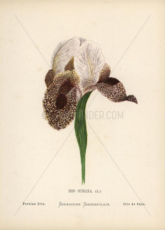 Persian iris,  Iris susiana