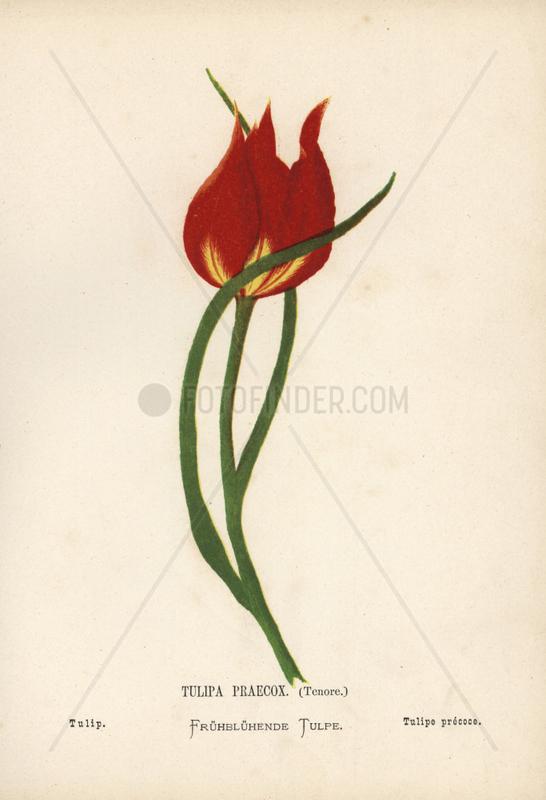 Tulip,  Tulipa praecox