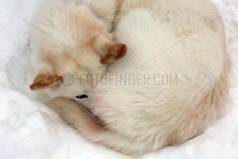 Aekaeskero,  Finnland,  Siberian Husky schlaeft eingerollt im Schnee