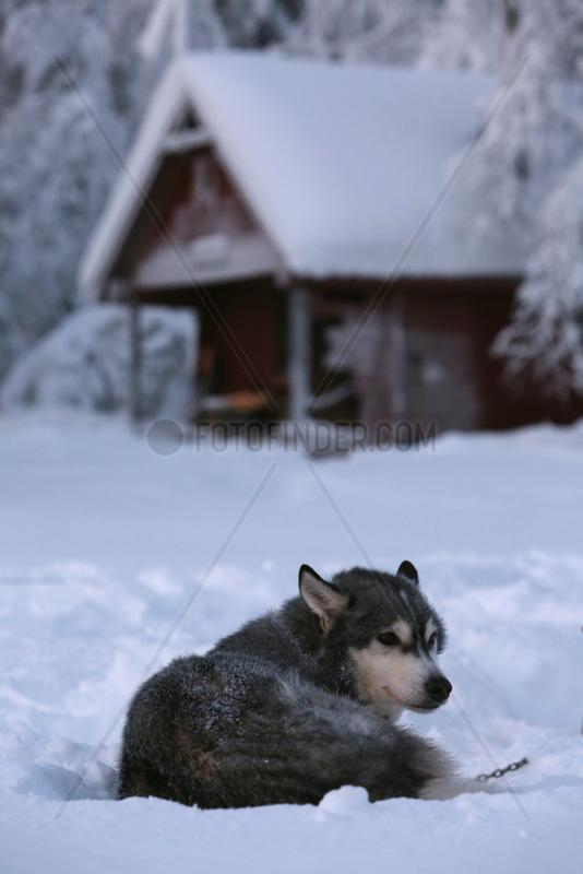 Aekaeskero,  Finnland,  Siberian Husky liegt im Schnee