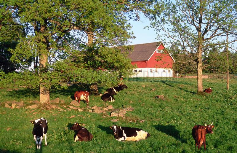 Flen,  Schweden,  Kuehe eines Bauernhofes