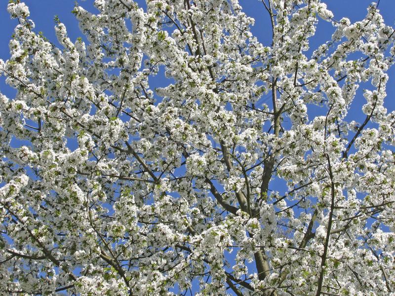 Kirschbaum in voller Bluete,  cherry tree
