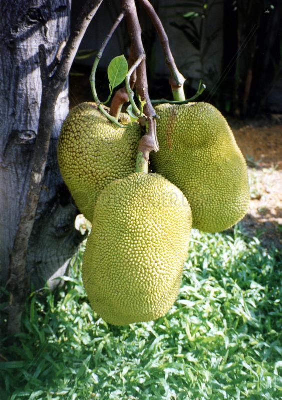 Durianbaum,  Durio zibethinus,  Zibetbaum,  Thailand