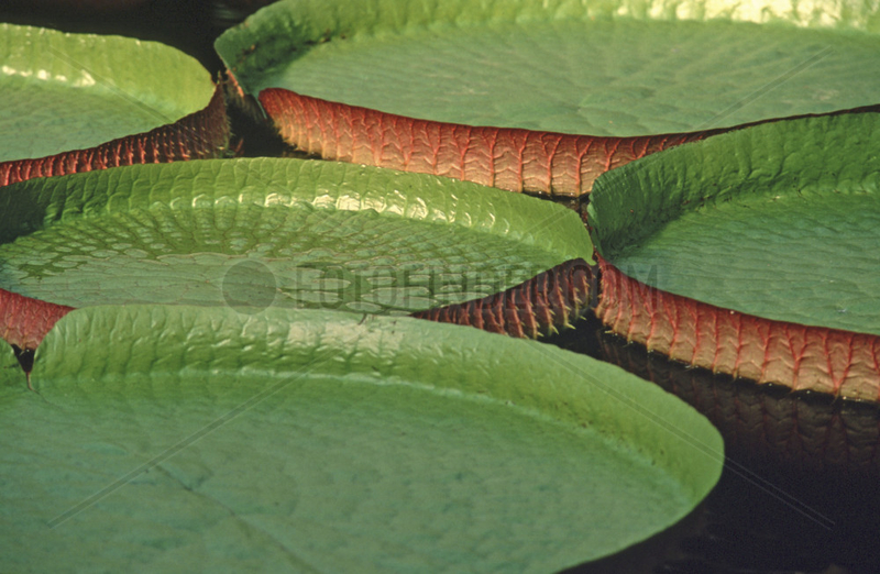 Riesenseerose,  Victoria amazonica,  Suedamerika,  Brasilien