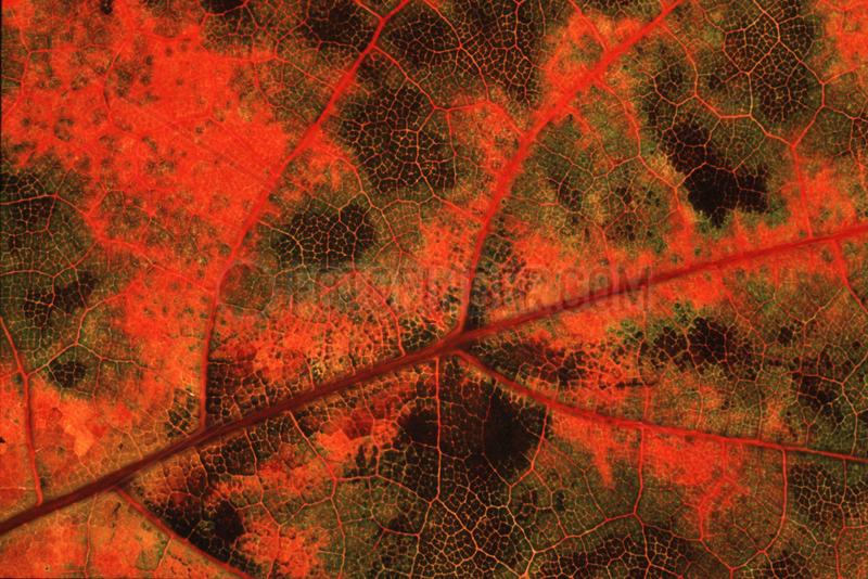 Herbstblatt,  red leaf