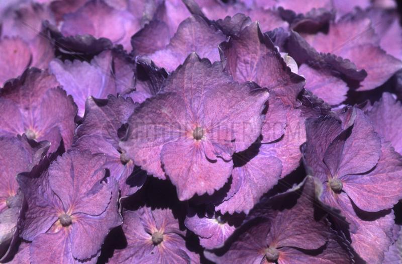 Hortensie lila,  Hydrangea