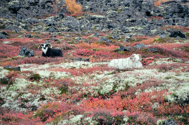 Schafsboecke auf Island