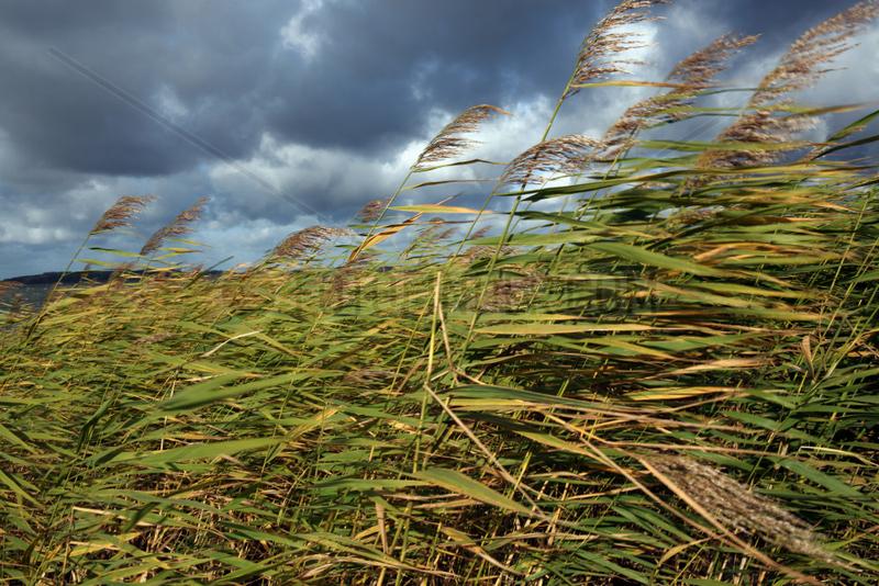 Goehren-Lebbin,  Deutschland,  Schilfgraeser wiegen sich im stuermischen Wind