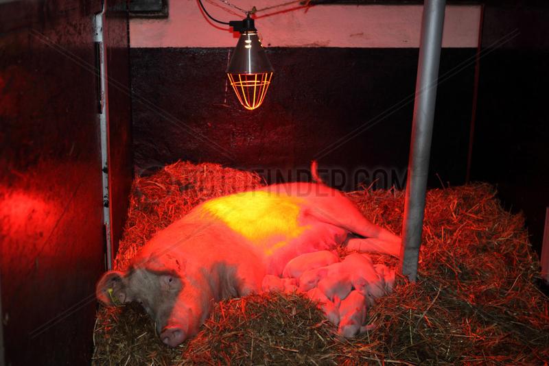 Prangendorf,  Deutschland,  Muttersau und Ferkel liegen unter Rotlicht im Stroh