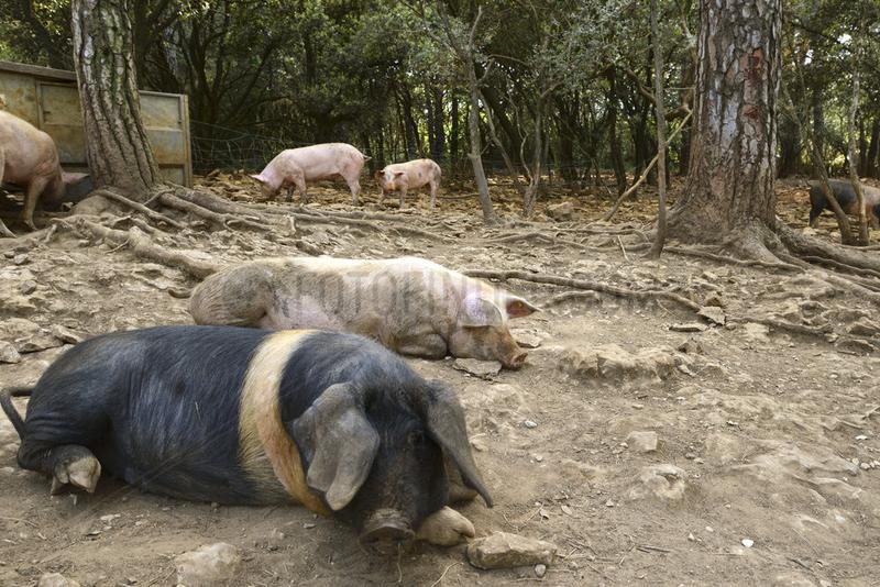 Artgerechte Haltung von Schweinen