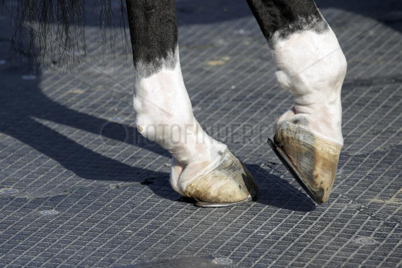 Doha,  Detailaufnahme,  Pferd geht in die Entlastungshaltung