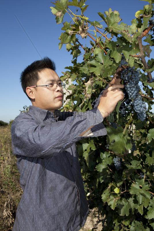Weinproduktion Dragon Seal bei Beijing