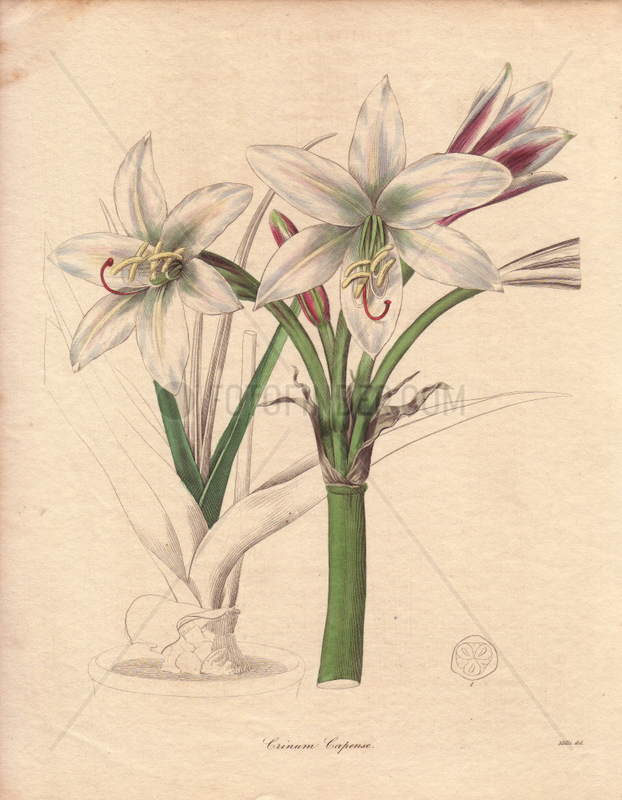 A white-flowered spider lily Crinum capense
