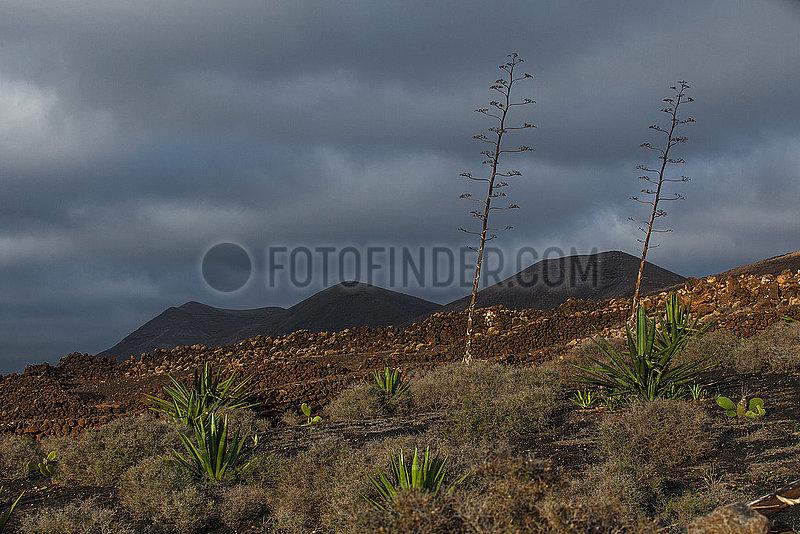Agave blossoms - Las Brendas,  Lanzarote