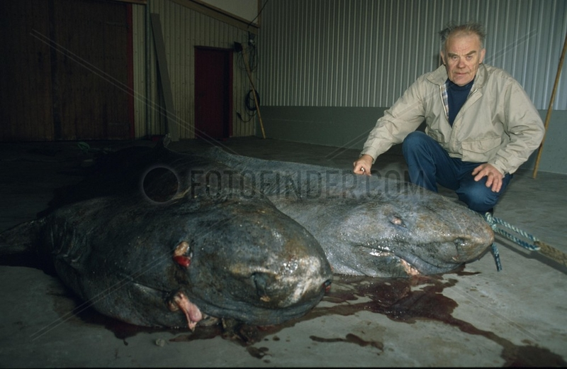 Mann posiert mit toten Haien