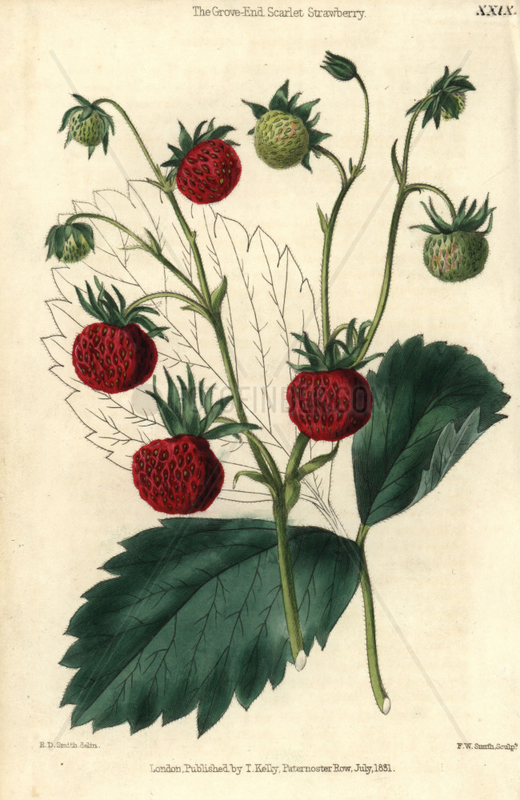 Ripe and green fruit of the Grove End Scarlet Strawberry