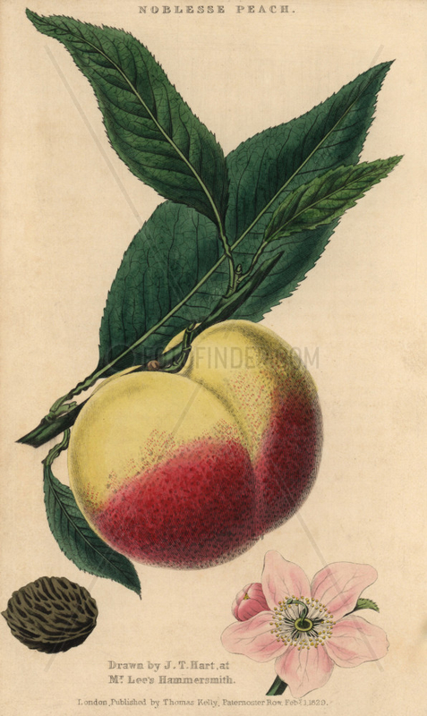 Fruit,  blossom and seed of the Noblesse peach