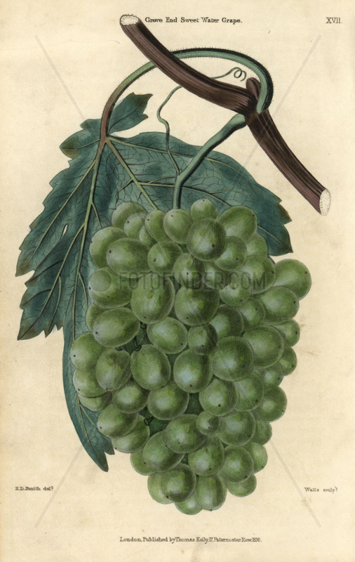 Ripe green grapes,  vine and leaf of the Grove End Sweet Water Grape