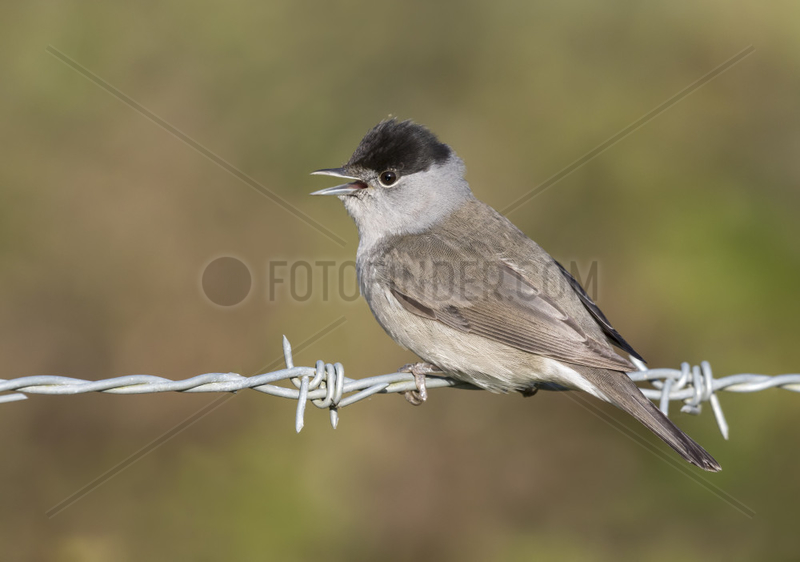 Blackcap (Sylvia atricapilla) Male blackcap displaying on a barbed wire, England,  Spring