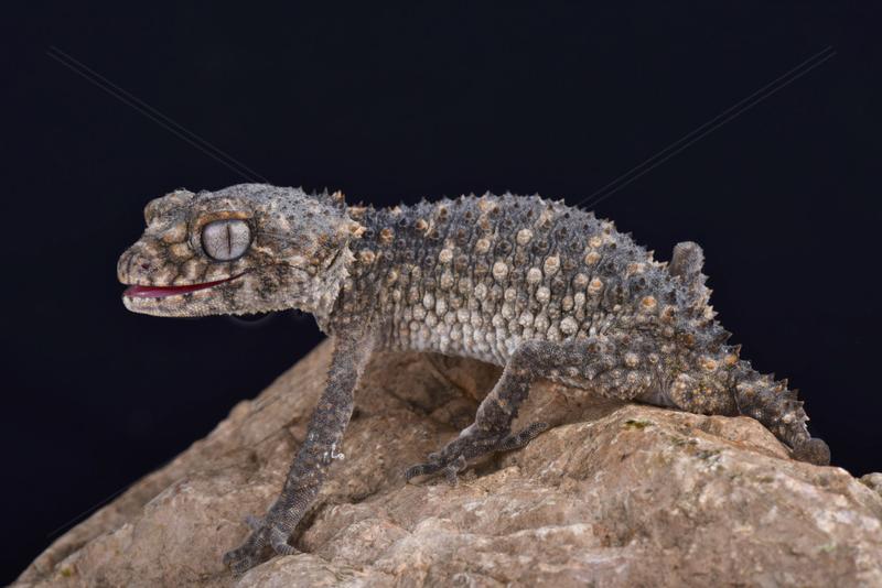 Prickly knob-tailed gecko (Nephrurus asper) on black background