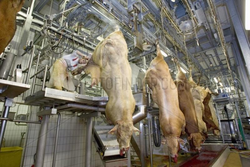 Dépeçage de bovins en abattoir