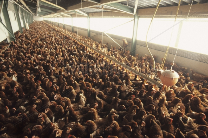 Hens shut away in an industrial breeding Prevention H5N1