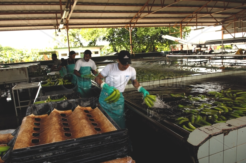Processing and packaging of bananas in Costa Rica
