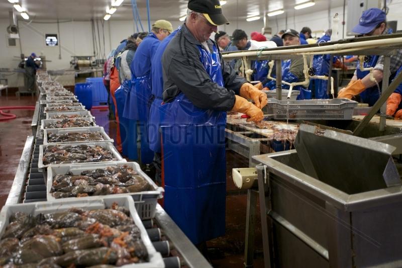 Preparation of sea cucumbers factory Fogo Newfoundland