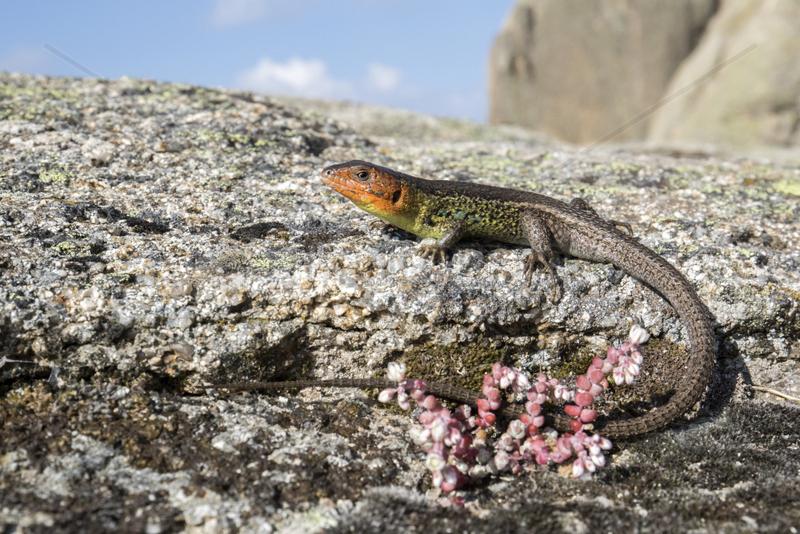 Large Psammodromus (Psammodromus algirus) male on rock,  Guadarrama National Park,  Spain