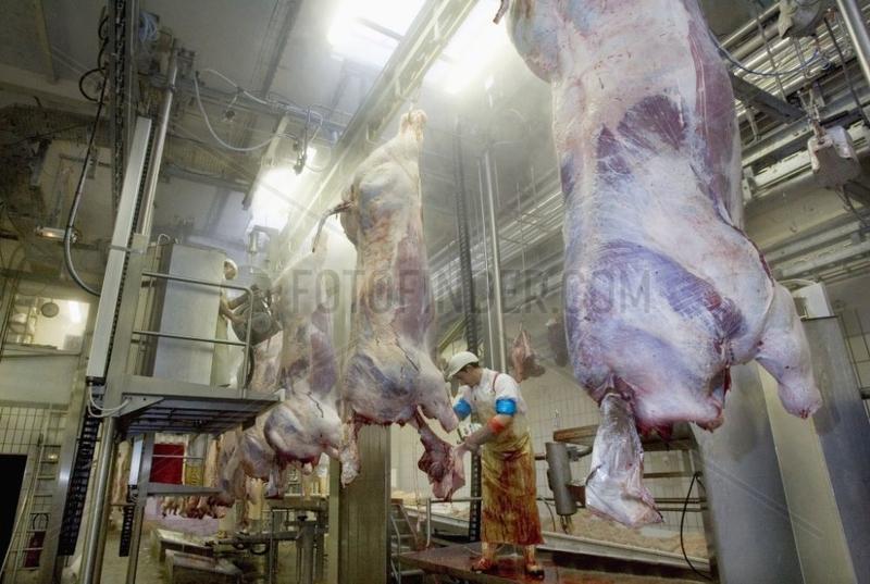 Eviscération de bovins en abattoir