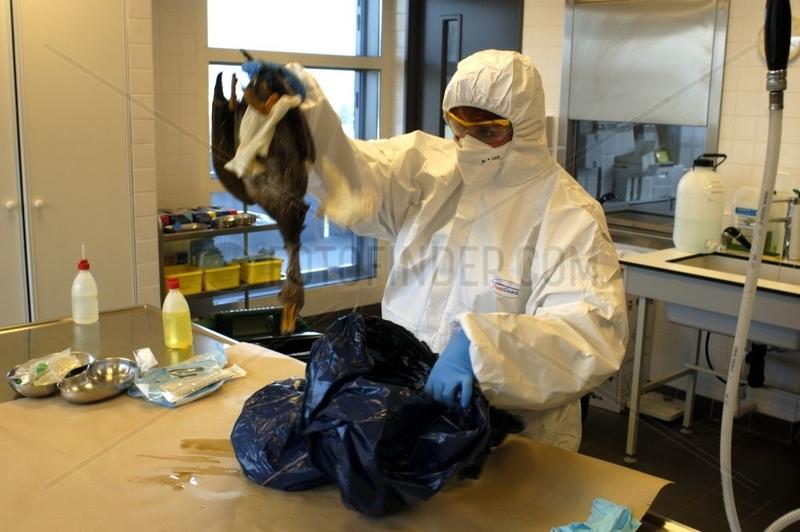 Seek virus H5N1 on a Duck mallard corpse