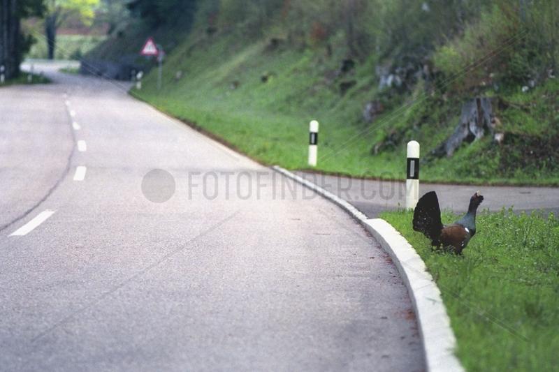 Grand Tétras traversant une route Jura Suisse