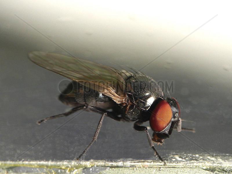 Mediterranean black fig fly (Silba adipata)