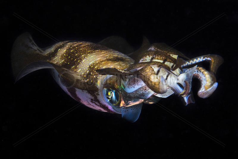 Bigfin reef squid (Sepioteuthis lessoniana) at night,  Indian Ocean,  Mayotte