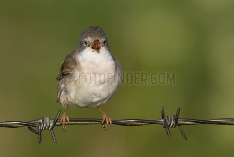 Whitethroat (Sylvia communis) Whitethroat perched on a barbed wire and displaying,  England,  Spring