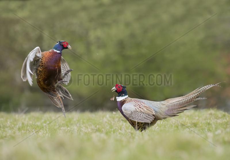Pheasant (Phasianus colchicus) Male pheasant fighting,  England,  Spring