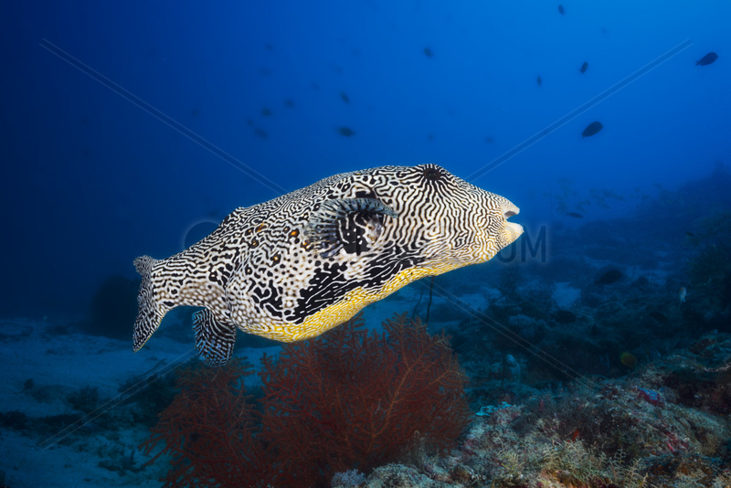 Map puffer (Arothron mappa) above the reef,  Indian Ocean,  Mayotte