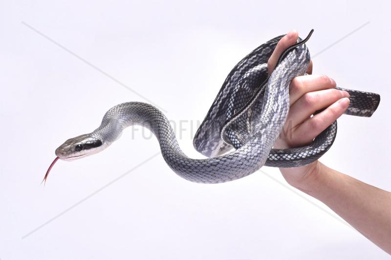 Blue beauty rat snake (Orthriophis taeniurus)