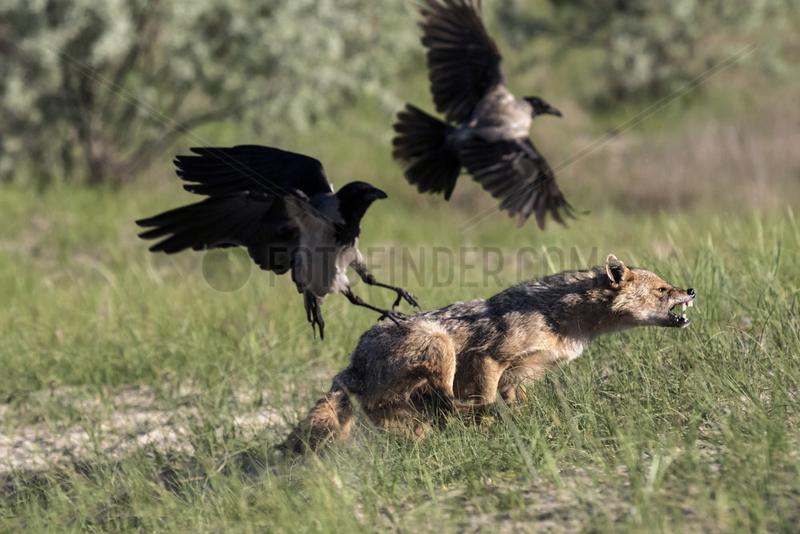 Golden jackal (Canis aureus) chasing Hooded crows (Corvus cornix),  Danube Delta,  Romania