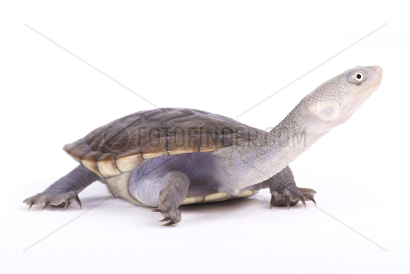 New Guinea snake-necked turtle (Chelodina novaeguineae) on white background